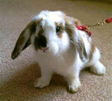 rabbit   choose    pet  pet news