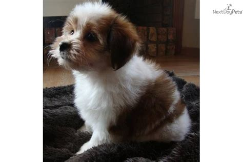 No Shed Dogs by Malti Poo Maltipoo Puppy For Sale Near Texoma
