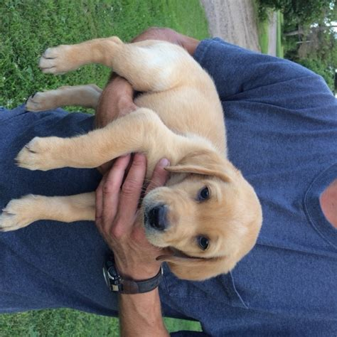 puppies for sale mn view ad labrador retriever puppy for sale minnesota