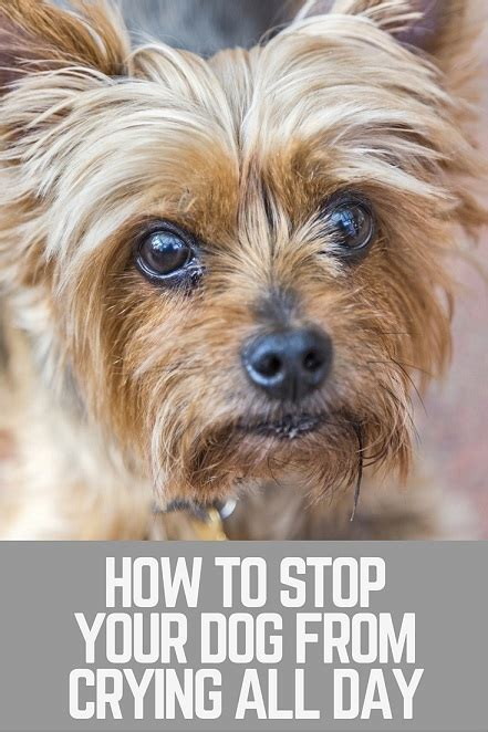 how to get a puppy to stop whining how to to get your puppy to stop whining breeds picture