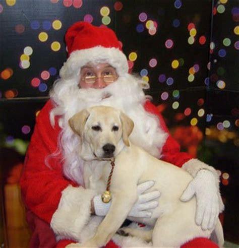 sadie rose  santa yellow labrador retriever thriftyfun