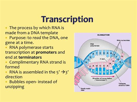 What Is The Template For Transcription draw mrna strand that is complementary to the dna strand
