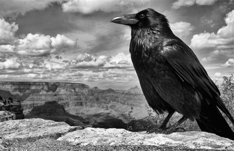 lisa s world 10 fascinating facts about ravens