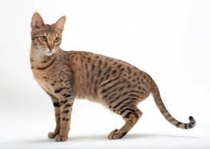 8 cat breeds that resemble tigers leopards and other
