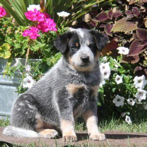 australian cattle puppies for sale in pa blue heeler puppies for sale in pa