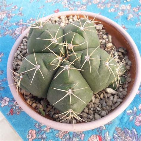 vasi per cactus vaso per cactus grande