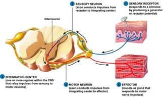 spinal cord and spinal nerves at university of nevada reno