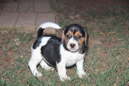 jackabee puppies for sale beagle x russel jackabee puppies