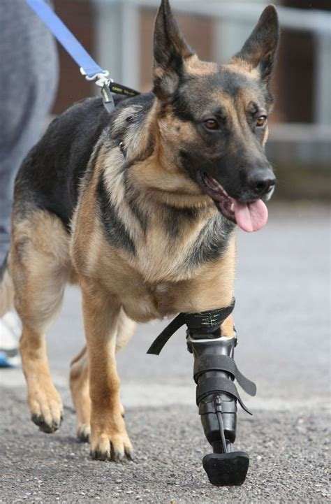veteran dogs 51 best images about veteran k9 s on soldiers lucca and service dogs