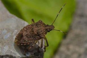 Plant Diseases And Their Control - eliminate squash bugs from your garden