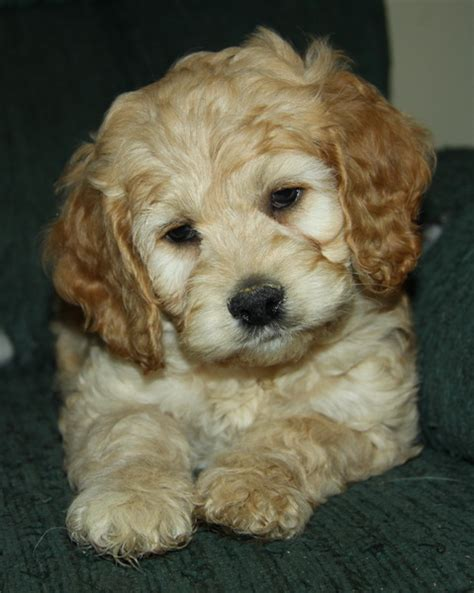 cockapoo puppies indiana interested cockapoo puppy puppies for sale dogs for sale in ontario canada