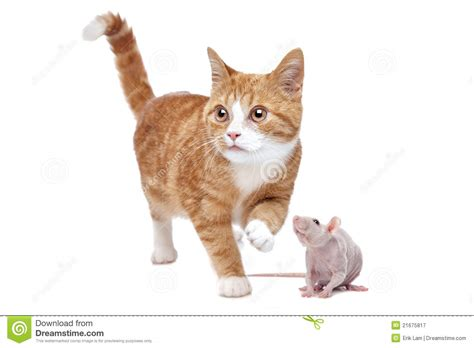 cat rat cat and rat royalty free stock photography image 21675817