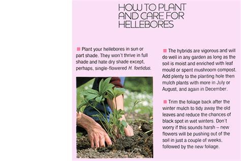 care of hellebores 28 images how to care for a