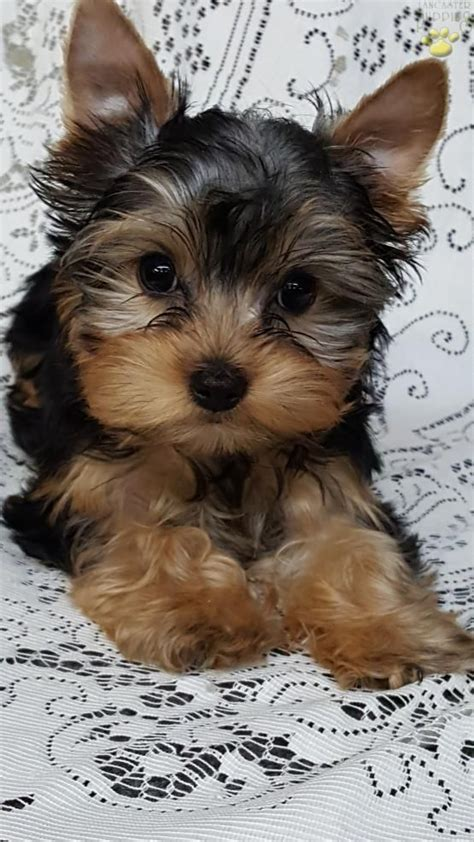 yorkie puppies for sale in lancaster pa best 25 terrier mix ideas on terrier mix breeds pitbull terrier mix and