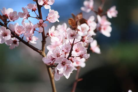 pink blossoms on plum tree picture free photograph