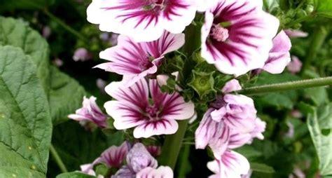 fiori di malva fiori di malva tisane propriet 224 fiore di malva