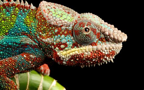 pictures of chameleons changing colors images
