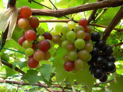 wallpaper daun anggur gambar buah anggur gambar buah