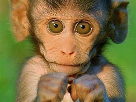 monkey wallpaper monkeys wallpaper