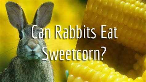 can rabbits eat sweetcorn pet consider