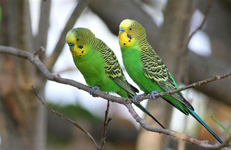 Budgerigar Food and Diet