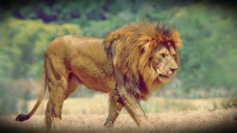imagenes de leones bravos le 243 n ataca brutalmente a un leopardo youtube
