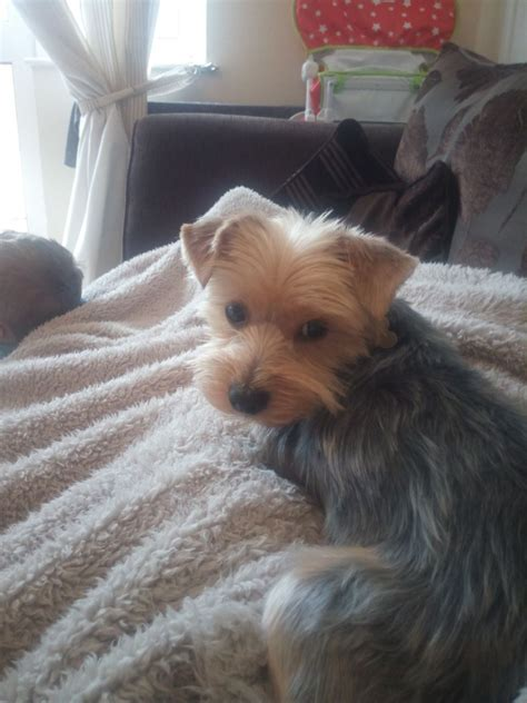 2 year yorkie for sale 2 year terrier for sale weston mare somerset