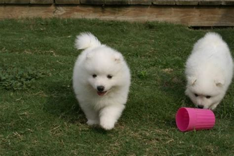 free puppies orange county japanese spitz puppies for sale orange county california pets for sale classified ads