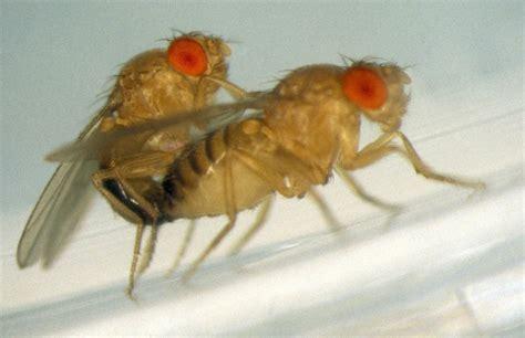 fruit flies in animals in research drosophila the fruit fly