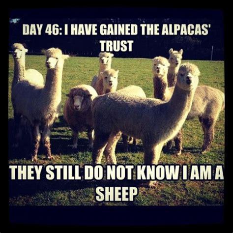 Alpaca Sheep Meme - sheep alpacas funny meme giggle smile worthy