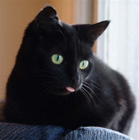 Black Lovely Cat when cats forget to put their tongue back in their aww