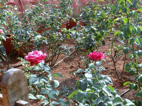 Insektisida Fastac 15 Ec taman bungaku hama pada bunga