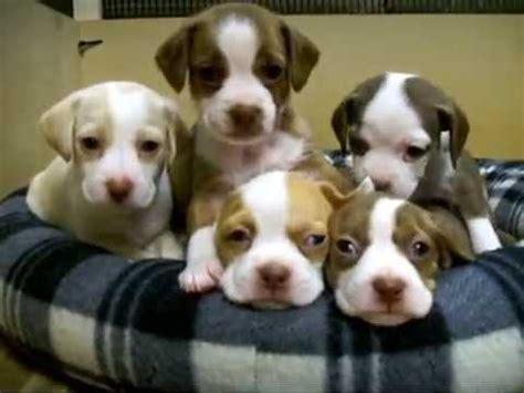 boggle puppies boggle puppies at 4 weeks