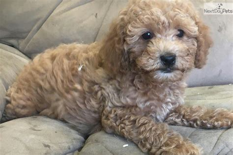 mini goldendoodle puppies for sale bc mini goldendoodle goldendoodle puppy for sale near