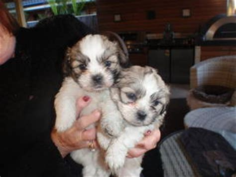 maltese shih tzu puppies for sale perth puppies perth australia
