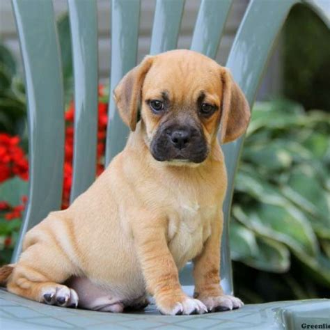 puggle puppies for sale in pa puggle puppies for sale puggle breed profile greenfield puppies