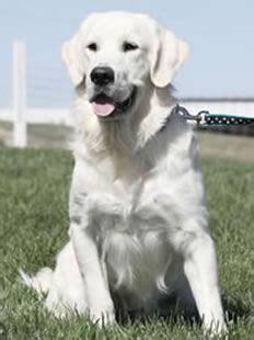 creme golden retriever names best 25 golden ideas on puppies golden retriever golden
