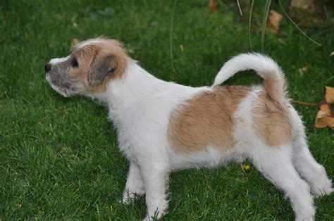 parson terrier puppies parson terrier puppies pictures information temperament characteristics