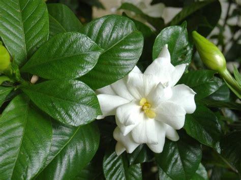 gardenia  sale mulch masters jacksonville fl