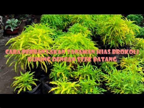 tutorial  stek batang  tanaman hias brokoli