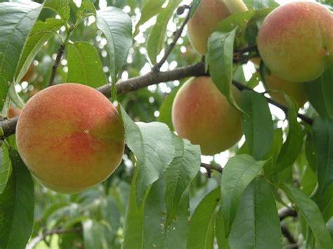 Best Backyard Fruit Trees by Best Backyard Fruit Trees Enviromom