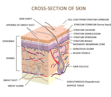 cross section of human skin 301 moved permanently