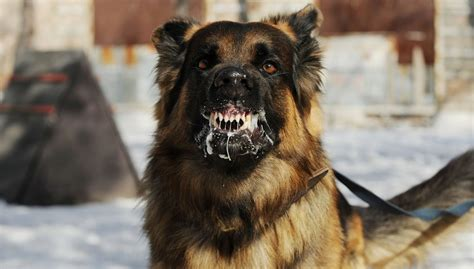 most vicious dogs 20 most dangerous dogs breeds that are known for aggression