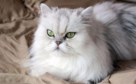 gatti persiani gatto persiano variet 224 carattere e caratteristiche dei