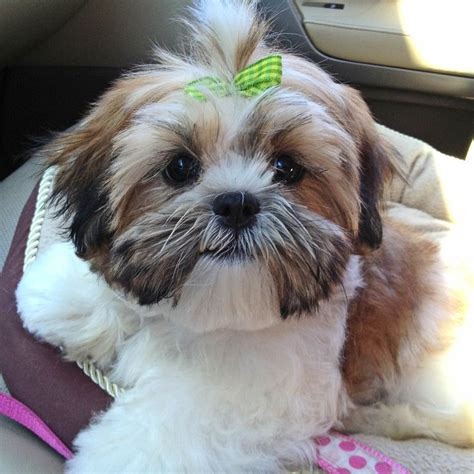 teddy cut on shih tzu visit teddy cut shih tzu hairstyles