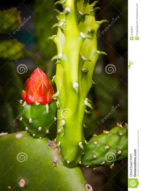 Sprouting Cacti Royalty Free Stock Image   Image: 31235976