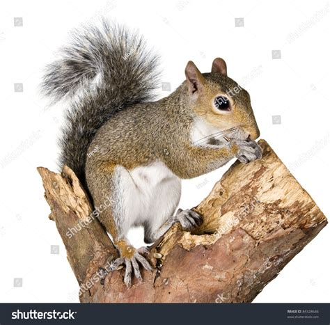 squirrel on a bough of a tree is sunflower seeds stock