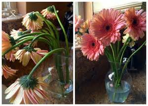 how to revive gerbera daisies christina s cucina