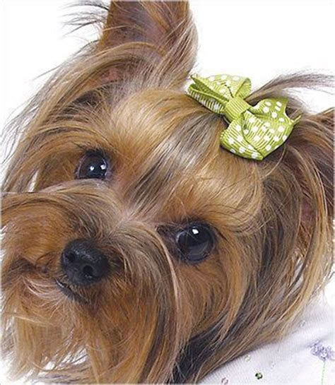 hair bows for yorkies hair bows yorkie and barrette on