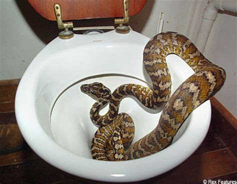 bathroom snake toilet snake is twice the size of a man metro news
